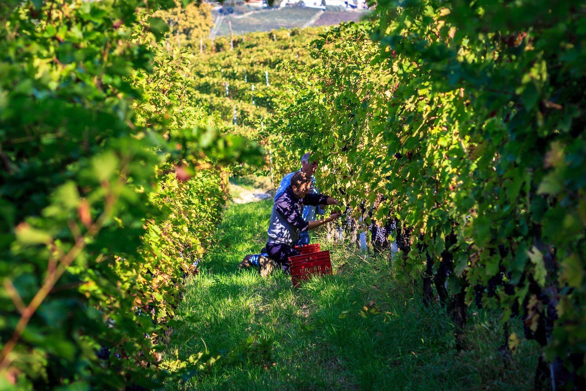 vineyards in Piedmont Unesco world heritage site